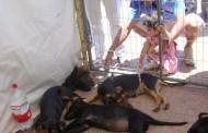 Vuelven las Ferias de adopción de mascotas a la plaza de Ovalle