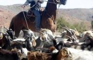 Más de 40% de avance en vacunación y desparasitación de ganado que subirá a veranadas