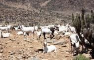 38.334 animales están listos para las veranadas en Calingasta