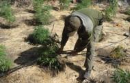 Con sistema tecnificado regaban plantación de Cannabis sativa