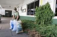 """Sorprende hallazgo de variedad """"enana"""" de Cannabis sativa en plantación incautada"""