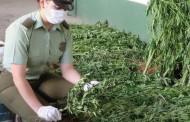 Plan Cannabis duplica incautaciones de marihuana en la Región