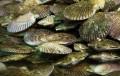 Noticia alentadora: Porcentaje de cultivos de ostión se salva en Tongoy