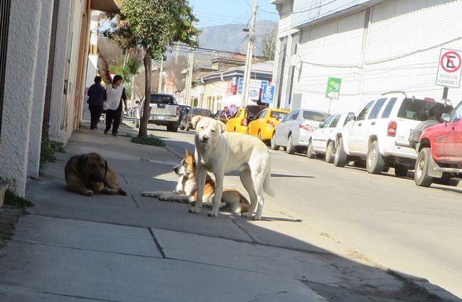 En Ovalle existen dos mil perros en libertad en las calles de la ciudad