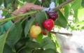 Cerezas de Limarí y Choapa buscan ser las primeras desarrolladas genéticamente en Chile