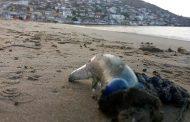 Atención La Serena y Coquimbo: decretan cierre de playa por presencia de Fragata Portuguesa