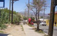Enorme  árbol se desploma sobre la acera a pasos de puerta de escuela