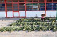 Sin detenidos se realiza nuevamente incautación de plantas de marihuana en la región