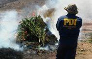 Sin detenidos termina incautación de casi once mil plantas de cannabis