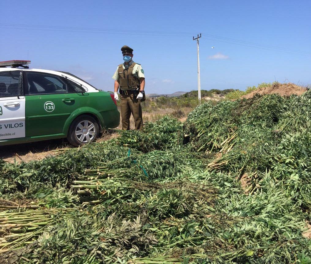 Incautación de 2400 plantas de marihuana  no arroja detenidos