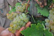 Realizan en Ovalle seminario para pequeños agricultores regionales de uva