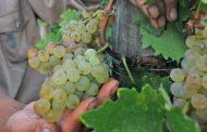 Solicitan apoyo a Hacienda para productores de uva afectados con bajos precios