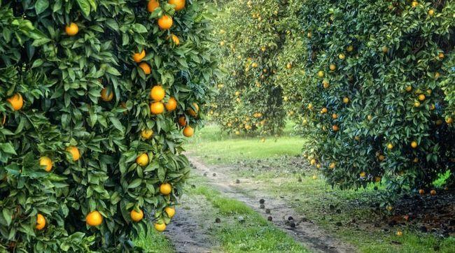 Limarí duplica la superficie de cultivo de frutales del resto de la región