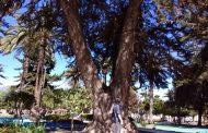 El árbol más viejo de la Plaza de Armas