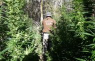 Incautan en Punitaqui 138 plantas de marihuana de gran tamaño