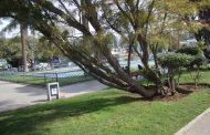 Transeúnte preocupado por inclinación de árbol en la alameda