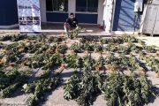 Decomisan 168 plantas de cannabis de 1.70 metros